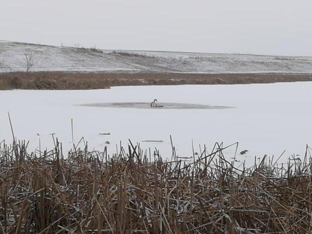 Лебеди остались зимовать на озере, фото с фейсбук