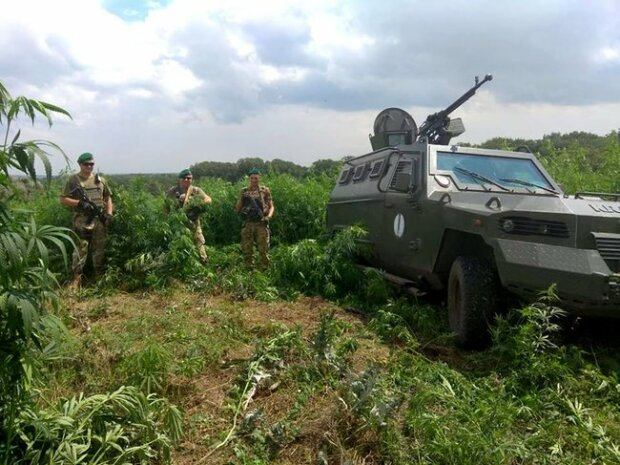 нелегальний посів коноплі в зоні ООС, фото з вільних джерел