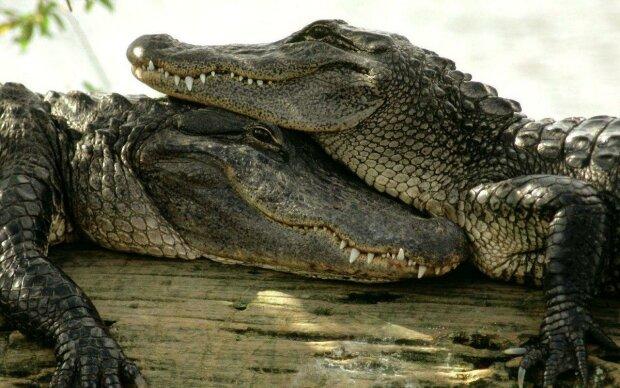 Сором'язливий алігатор вилікував свого господаря від депресії: фото