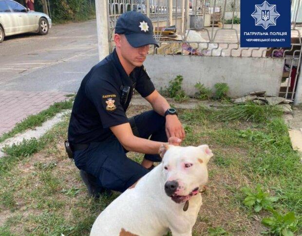 У Чернівцях патрульні поліцейські зловили бійцівську собаку, що кидалась на дітей