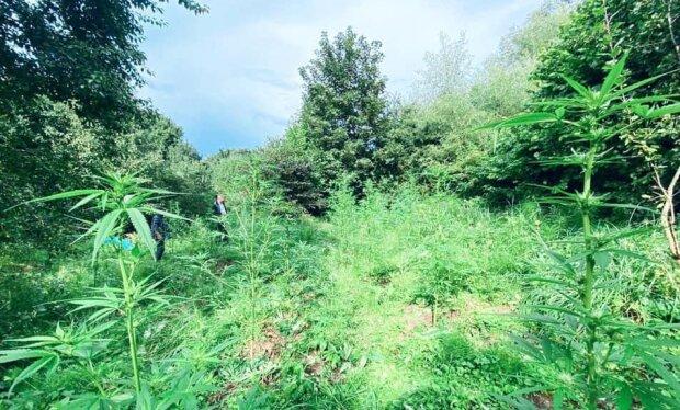 На Прикарпатье мужчина замаскировал в лесу плантацию конопли - наркота между грибочков
