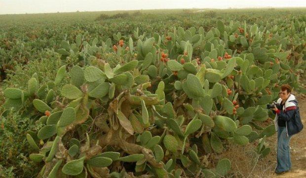 В Мексике из кактусов генерируют электричество (видео)