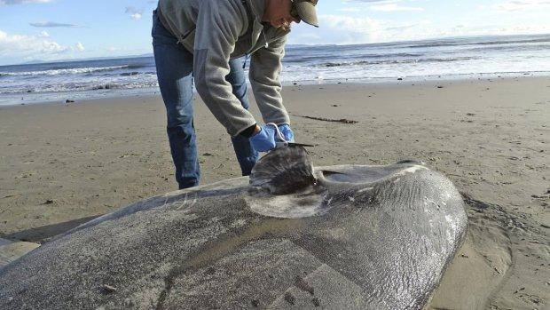 """На калифорнийском пляже обнаружили гигантского """"пришельца"""" с юга"""