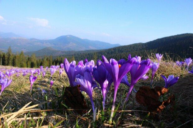 В Карпати прийшла весна: природну аномалію засікли високо в горах, чарівні кадри