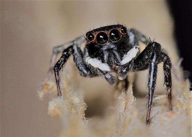 Пауки-штурмовики: зоологи обнаружили новый вид, похожий на персонажа из Звездных войн