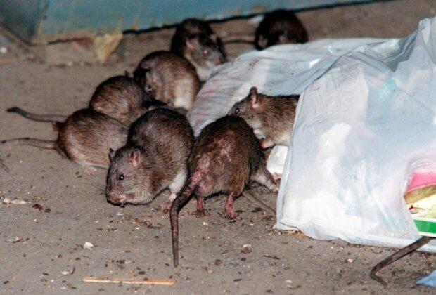 "Квартиры киевлян заполонили крысы: ""Лезут через канализацию"""