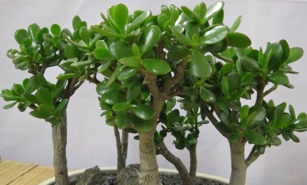 Грошове дерево, фото: кадр з відео