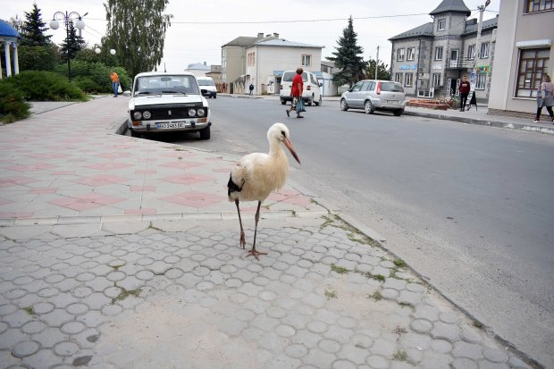 Чорногуз