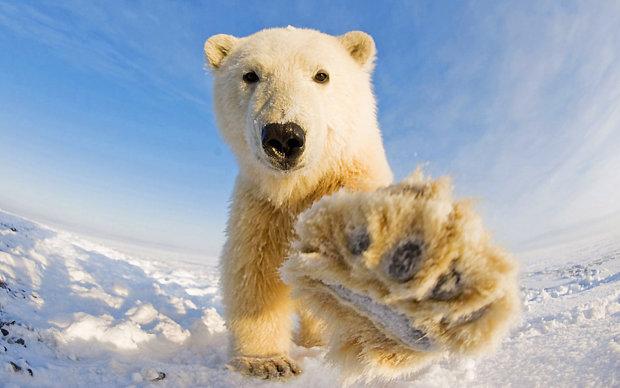 На Аляске белый медведь подружился с собакой. Хозяин пса снял забавное знакомство на видео