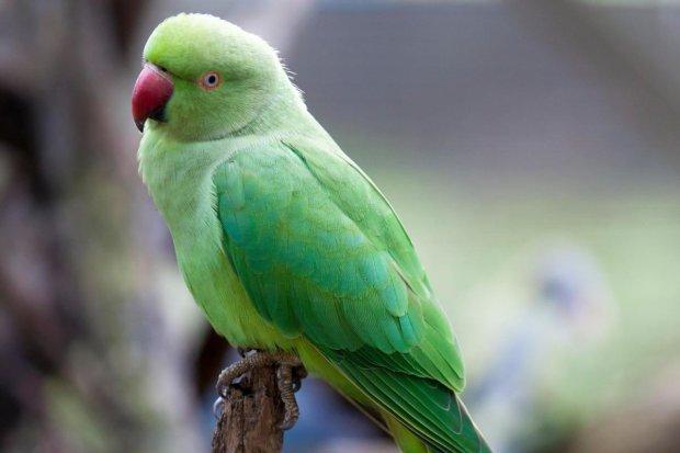 Наркозависимые попугаи атаковали индийские опиумные плантации: фермеры обратились за помощью к властям