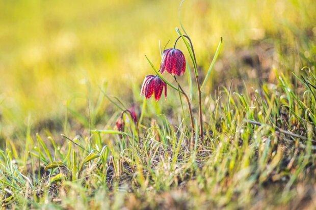 Под Львовом пылают поля с уникальными тюльпанами, красные красавцы могут исчезнуть навсегда - подробности