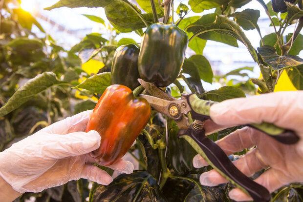 Как выращивать перец, чтобы урожай был богатым: народные советы