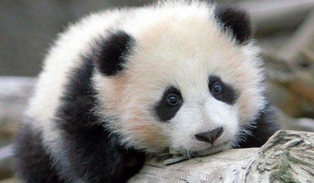 Морозиво рятує від спеки: метод панди