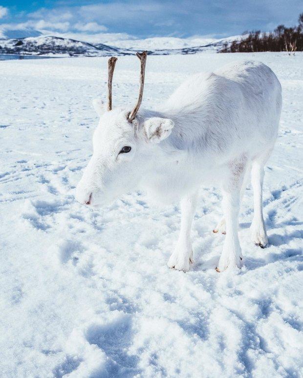 Белее снега: уникальный белоснежный оленёнок взорвал сеть