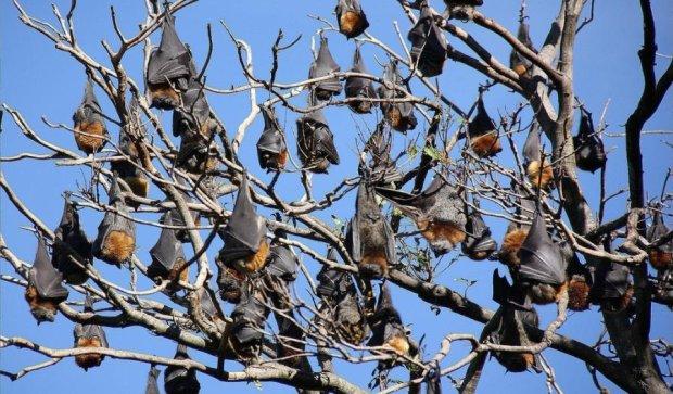 Австралійців налякала моторошна зграя мертвих кажанів