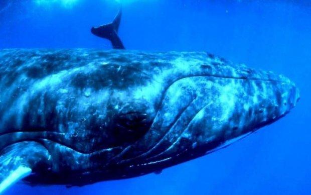 Редкое явление: 40-тонная горбатая китиха шокировала мир