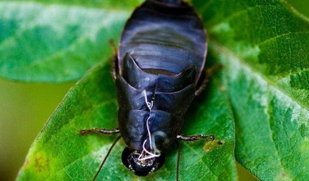 """""""Молочко"""" тараканов спасет человечество от вымирания"""