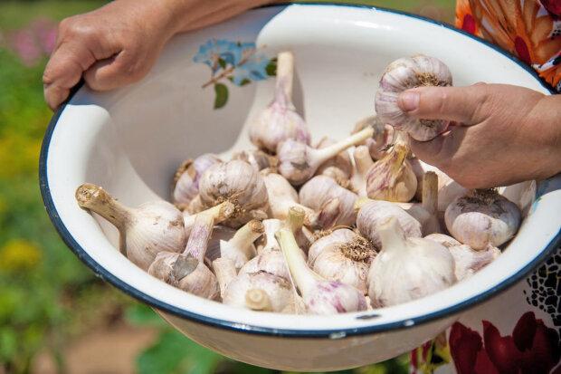 Лекарство от тысячи болезней на собственном огороде - сажаем озимый чеснок правильно