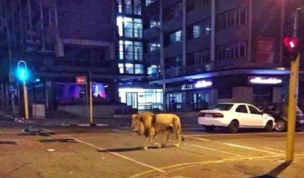 Як лев гуляв центром міста