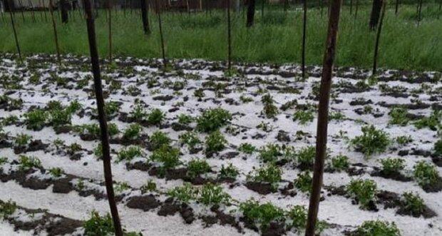 Франківчанам доведеться затягти паски, урожай знижено - гігантський град розміром з яйце