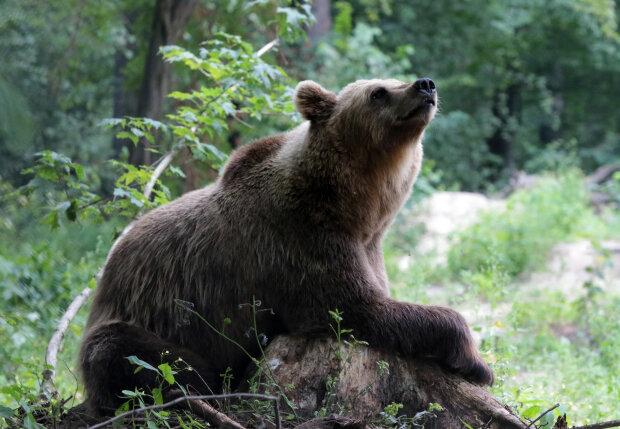 До гірського готелю навідується ведмідь: сподобалися водні процедури у басейні, відео