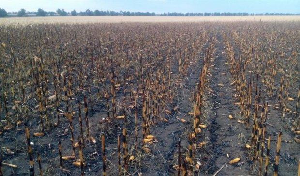 Майже 60 га посівів кукурудзи згоріло на Кіровоградщині