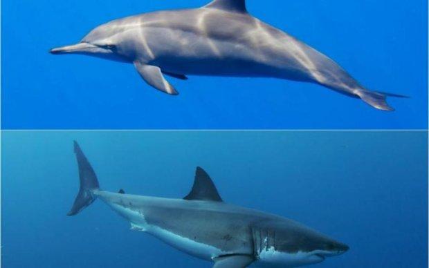Акули бояться дельфінів, і ось чому