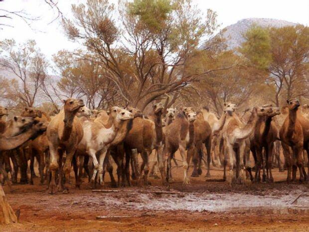Ради спасения людей: в Австралии убьют 10 тысяч животных
