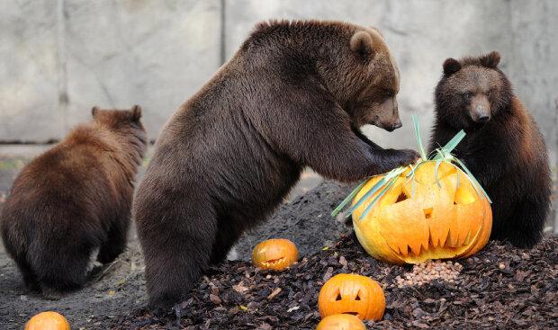 Франковчане нашли полезное применение тыквам на Хэллоуин: угости косолапого