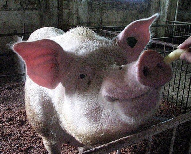 Фермер на Тернопільщині помер через укус свині