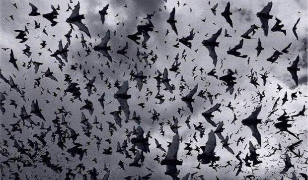 Тернопіль атакують червонокнижні кажани