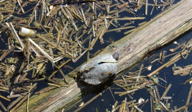 На Нивках поселилась гигантская американская черепаха