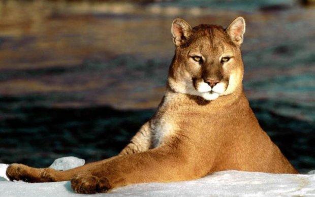 Сложила лапки: семейство больших кошек стерто с лица Земли