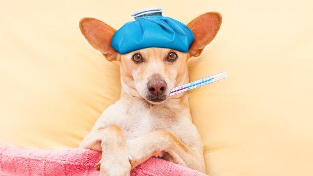 Собачий грип: чи можна заразитися від улюбленого вихованця