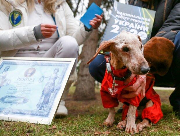 На пенсію - в 19: київська такса стала найстарішою собакою України