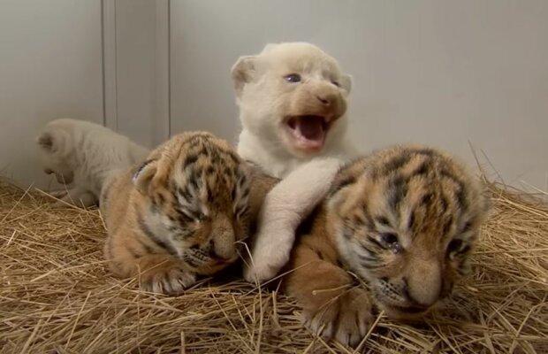 Тигр, скриншот: YouTube