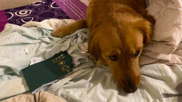 """""""Він дійсно мене захищає"""": благородний пес врятував господарку від смертельного коронавірусу, фото"""