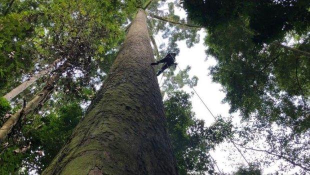 Ученые обнаружили гигантское дерево-рекордсмена: альпинисты совершают восхождения на верхушку