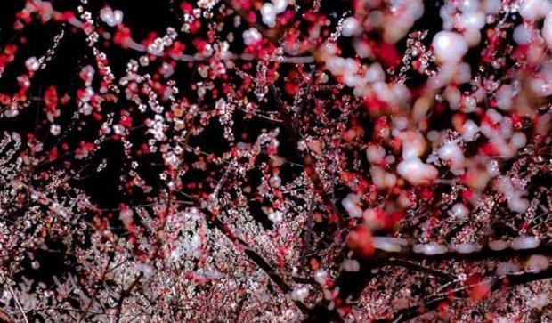 В Японії розквітла сакура (фото)