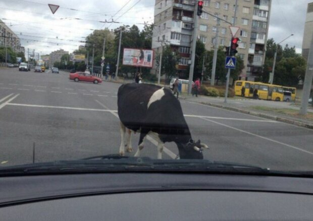 Корова на дороге, скриншот: YouTube