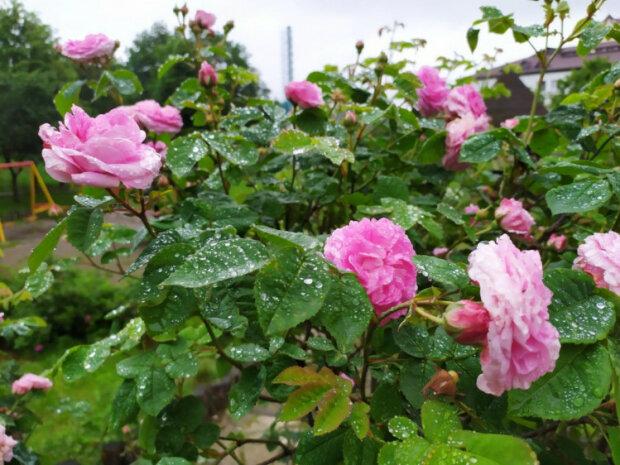 роза, источник: Depo.Львов