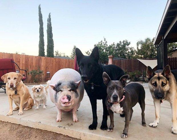Удивительная история необычной дружбы поросенка с собаками: его сердце наполнено любовью, и ведет он себя совсем не по-свински