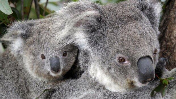 Заживо сгорели: в Австралии погибли сотни коал