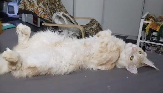 Сердце больного котенка билось вне его груди — забота и любовь позволили малышу вырасти роскошным котом
