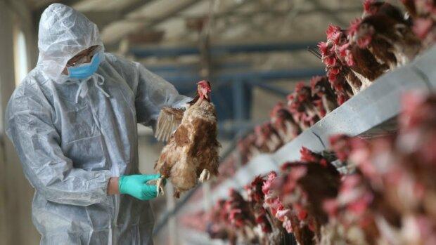 Пташиний грип: хвороба, симптоми, лікування, YouTube