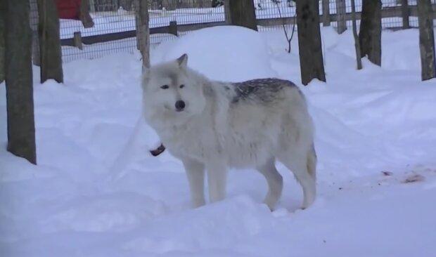 На Хмельнитчине села терроризируют волки, скриншот с видео