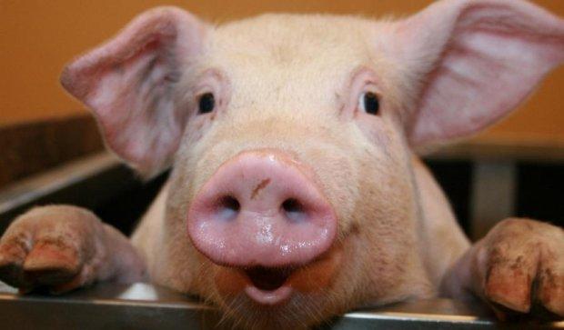 Контрабандистов поймали на перевозке свиней для террористов