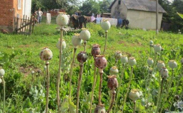 """На Буковине обнаружили плантацию мака - отчаянная домохозяйка растила """"травку"""" на огороде"""