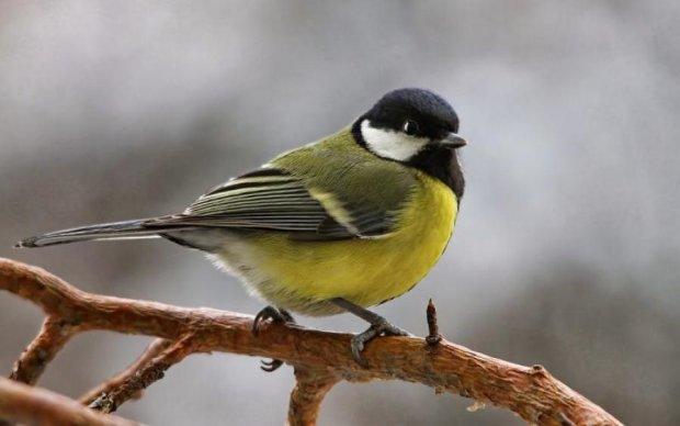 Унікальне явище: вдалося зняти спів першої весняної пташки