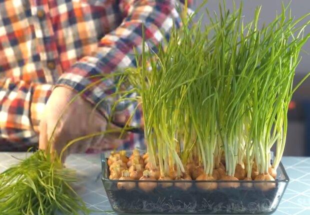 Забезпечте себе свіжою зеленню - топ рослин для підвіконня на кухні